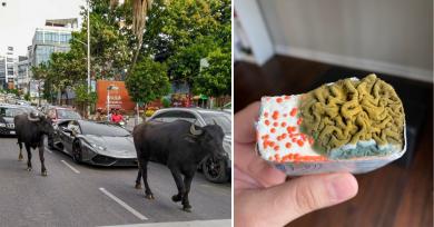 lamborginhi-vacas-moho