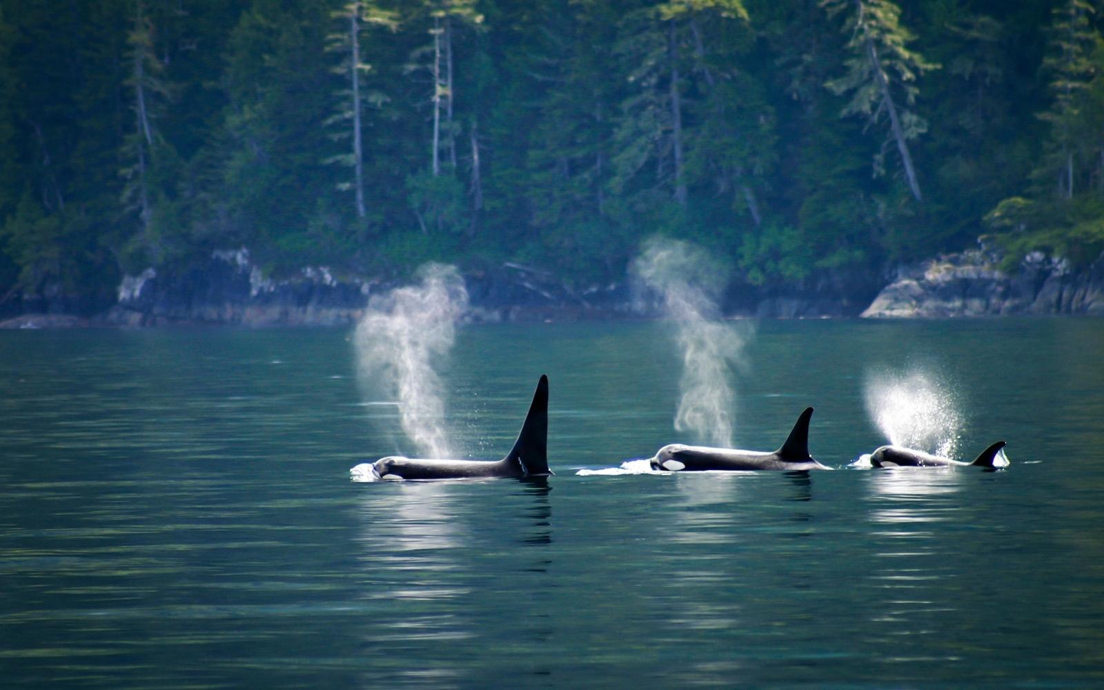 familia de orcas nadando
