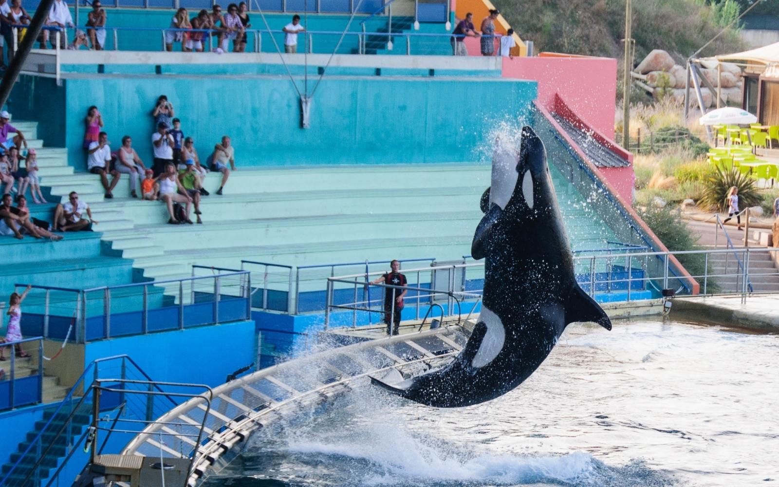 orca saltando en espectáculo