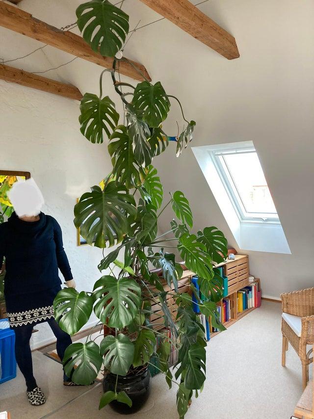 plantas de interior gigante