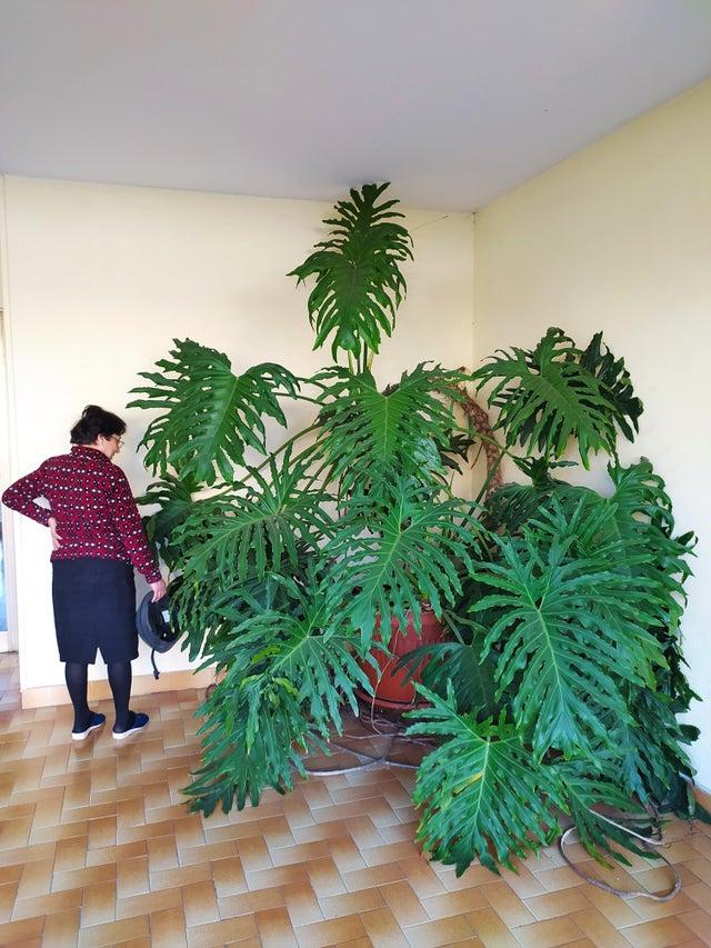 mujer regando su planta gigante